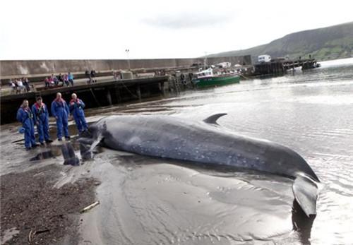 巨鲸搁浅海滩欲重返大海未能成功窒息死亡(图)