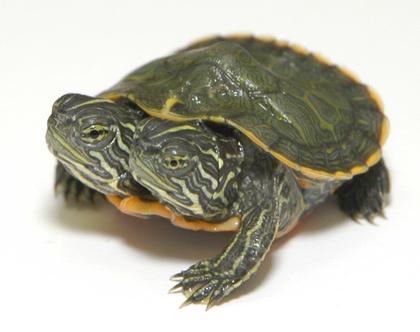 美国双头龟共享4条腿和1龟壳动物园起名伤脑筋