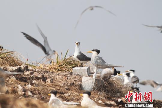 图为:与假鸟模型在一起的大凤头燕鸥。 黄秦 摄