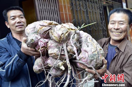 浙江温岭村民收获巨型番薯。 金云国 摄