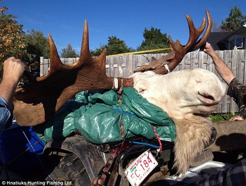 猎人射杀罕见白色驼鹿原住民奉为神灵之物(组图)(2)