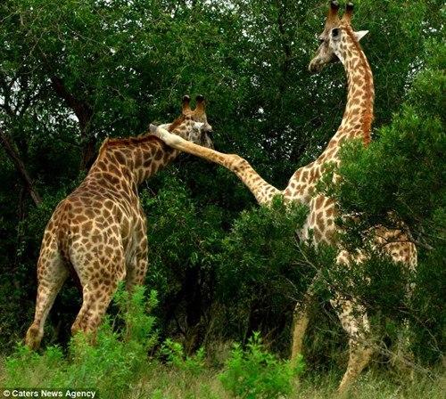 另一只长颈鹿头一闪躲过攻击。
