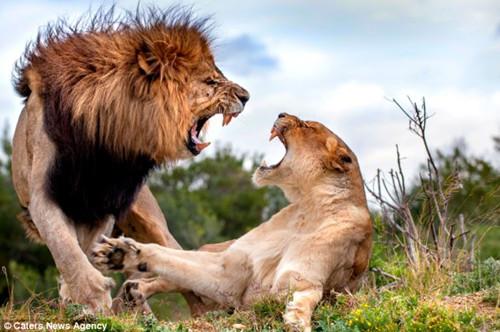 """母狮如何拒雄狮交配要求?对视张口""""狮吼""""(图)"""