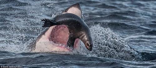海豹逃生惊险瞬间:大白鲨张血盆大口追击(组图)(3)