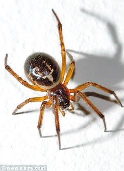 """被""""假寡妇""""咬会丧命英国中学因毒蜘蛛乱窜停课"""