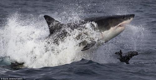 海豹逃生惊险瞬间:大白鲨张血盆大口追击(组图)(4)