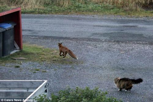 这只倒霉的狐狸显然没有预料到里昂的凶猛难缠,最后只能仓皇出逃。