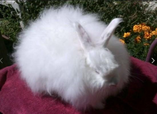 纳粹对巨型安哥拉兔非常优待,将它们视为一个宝贵资源。他们希望用兔毛制作军装,帮助士兵抵御严寒