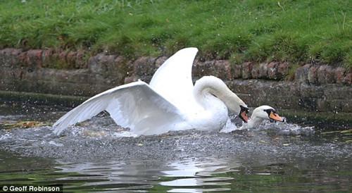 """""""坏小子""""将另一只天鹅的颈部按压到水中。"""