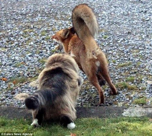 里昂的主人称,里昂平时就脾气暴躁,更不喜欢狐狸。