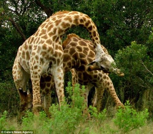 两只长颈鹿最终扭打到一起。