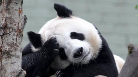 """在苏格兰大熊猫""""甜甜""""流产下周将与游客见面"""