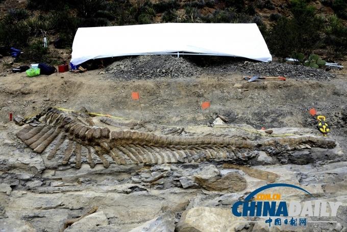 加拿大工人挖地下管道 意外发现稀有恐龙化石