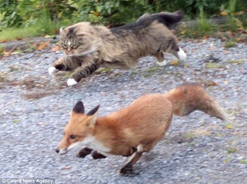 英勇猫咪驱逐入侵狐狸迅猛如美洲狮(组图)