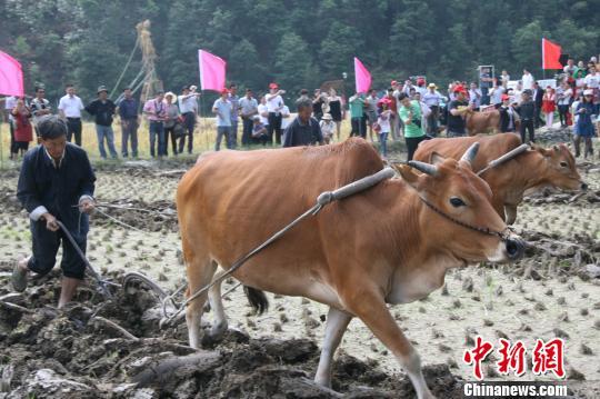 农民展示犁田传统农耕技艺。 李梦清 摄