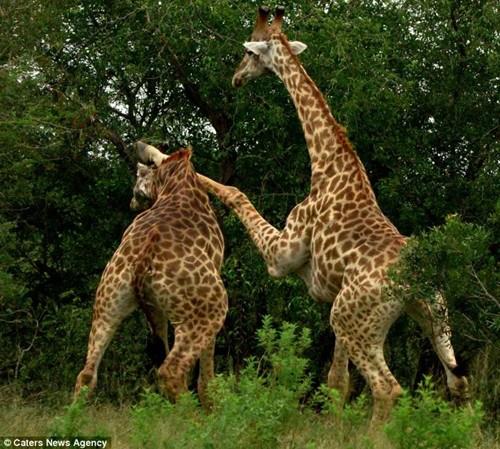 """南非丛林两只公长颈鹿为求偶用""""功夫""""对打(图)"""