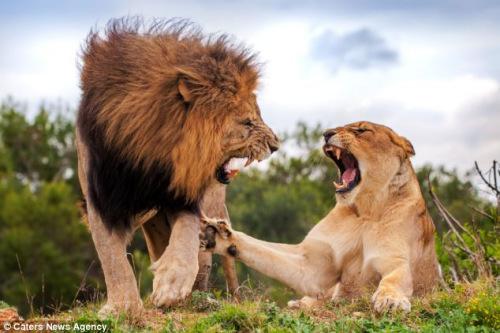 """母狮咧嘴露齿显示凶相表示""""抗议"""",还试图用脚掌推开雄狮。"""