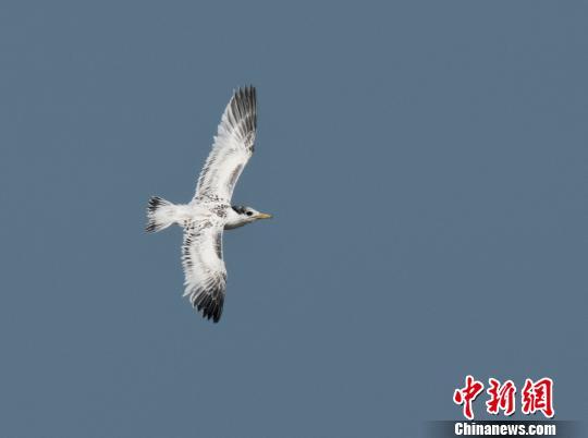 图为:中华凤头燕鸥幼鸟成功学飞。 范忠勇 摄