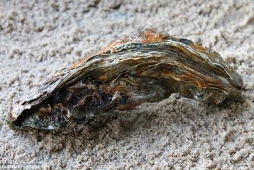 这个牡蛎被打捞上来时仍然存活。