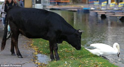 """""""坏小子""""不得不认输,被公牛赶下水。"""