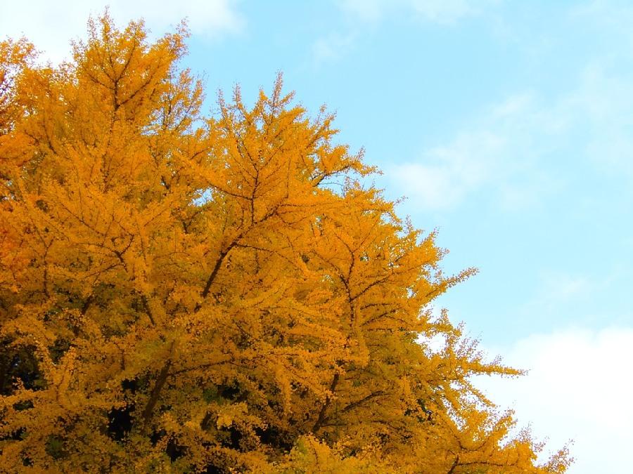 日本摄影师拍摄秋天县银杏叶纷飞金光大道美景
