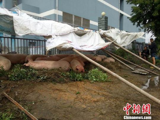 市民将猪安置在草堆上。 何蒋勇 摄