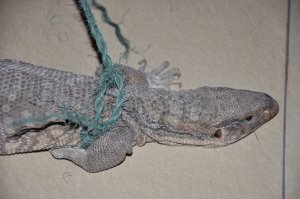 小区现国家一级保护动物 身长约60厘米带蛇鳞皮