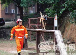 德国黑背在训练走独木桥 通讯员 凌文丹 摄