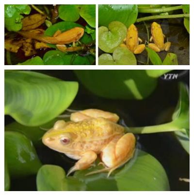 """韩国发现""""黄金蛙""""红眼加金皮机率三万分之一"""