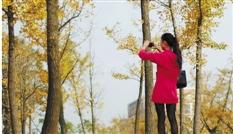 浙师大校园的银杏。