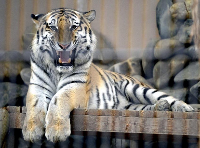 饲养在韩国京畿道果川市首尔大公园的西伯利亚虎,系俄罗斯普京所赠。图片来源:韩国《中央日报》