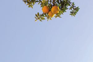 昨天,天空像洗过般洁净。湖墅北路,香泡树上结了果实,挂在阳光下。  记者 许康平 摄