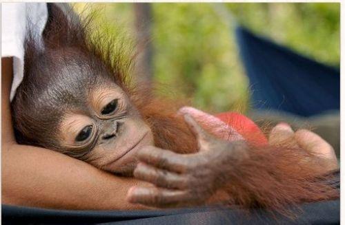 红毛猩猩三只手指被砍断抿嘴低头看伤口惹人疼