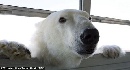 """""""北极熊监狱""""里关押的""""熊囚犯"""""""