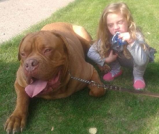 肇事狗是一只体型硕大的法国獒犬