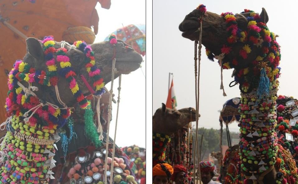 图:直击印度骆驼选美大赛 数万骆驼盛装亮相