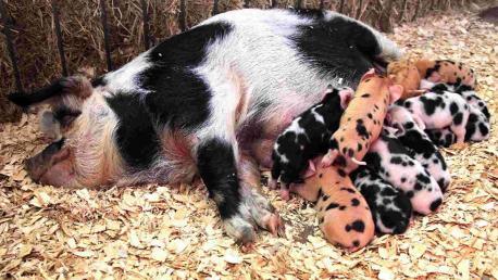 母猪9个月内产27头幼崽最多一次产16头(组图)