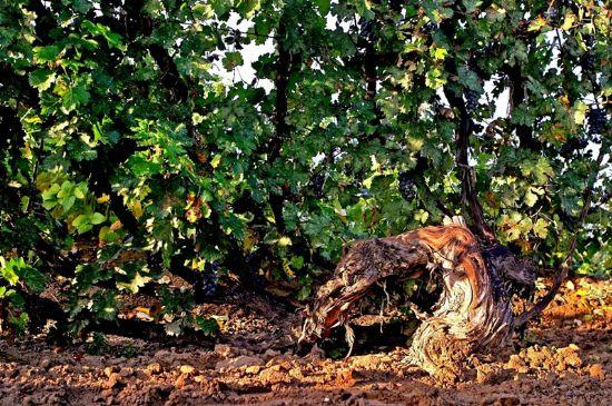 长城桑干酒庄30年黄金树龄葡萄树