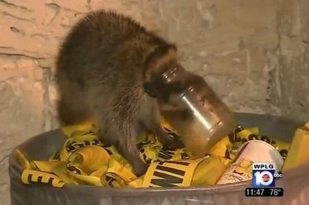 贪吃浣熊脑袋卡进玻璃瓶缺氧晕倒幸获救(图)