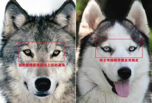 美国研究:现代狗的祖先是已灭绝的古代欧洲狼