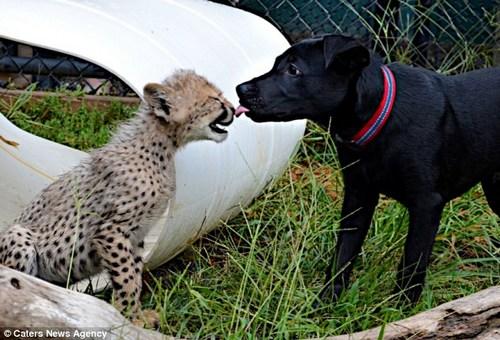 猎豹萨瓦纳与拉布拉多犬马克斯在雪地上疯狂追逐嬉戏,玩得不亦乐乎。