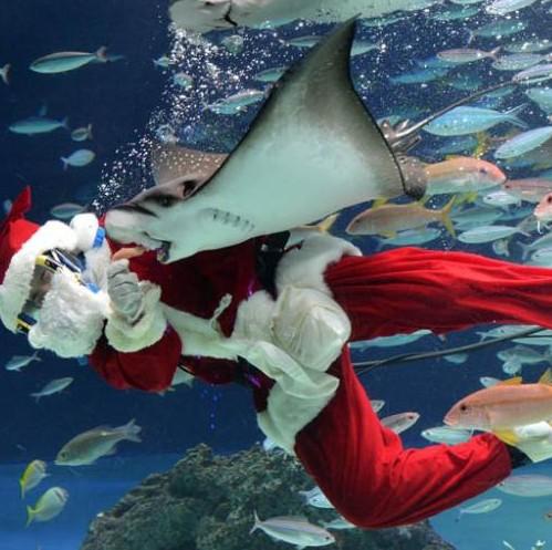 日本越前松岛水族馆的水中圣诞老人。