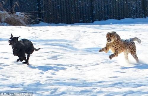 当今天冬天的第一场雪降临,萨瓦纳与马克斯就如同小孩子一般兴奋异常,不浪费一点时间,在雪地上疯狂打闹。