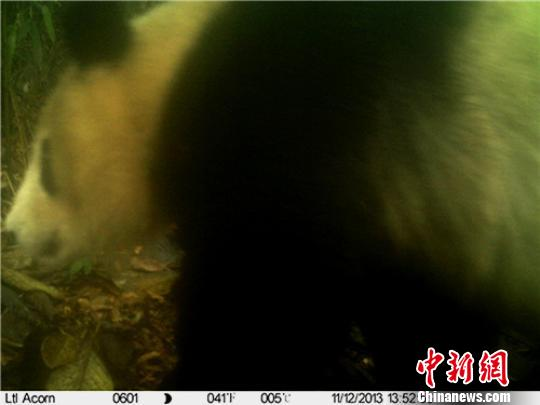 红外相机于2013年11月12日拍摄的大熊猫实体照片 保护区提供 摄