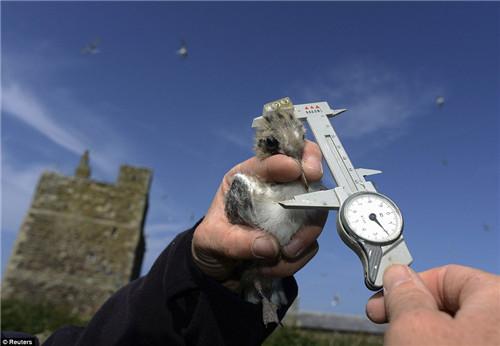 调查人员在对海鹦进行测量。