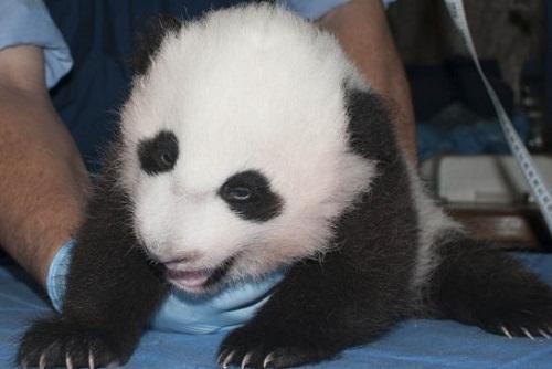 """美国华盛顿动物园新生小熊猫满百天获名""""宝宝"""""""