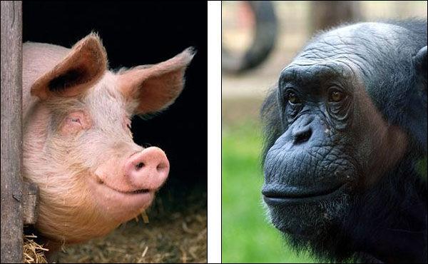 公猪和母猩猩(资料图)