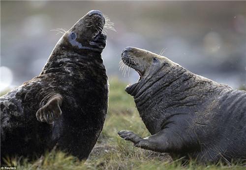 该岛还是灰色海豹的栖息地,每年有大约1000头海豹在这里出生。
