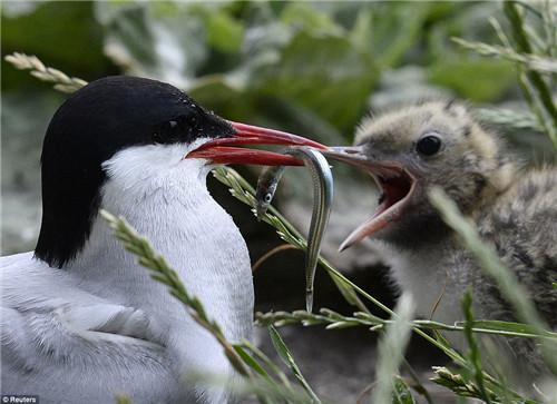 海鹦在喂养幼崽。