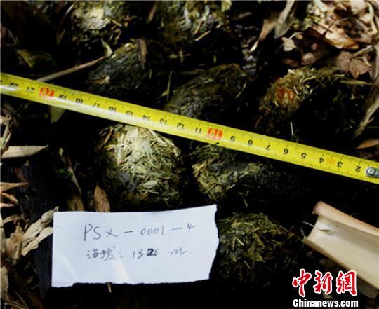 """在保护区内发现的""""疑似大熊猫粪便"""" 保护区提供 摄"""